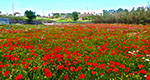 Meadow with flowering poppies in Sifnos